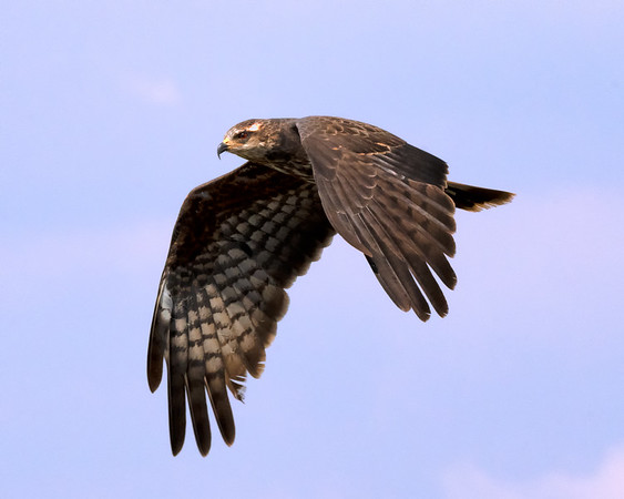 Snail kite in flight