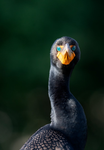 Here's looking at you: double crested cormorant