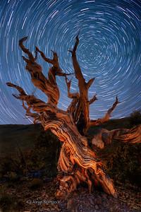 Bristlecone Pine Tree and Polaris