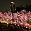 Cherry Blossom, Tokyo Midtown