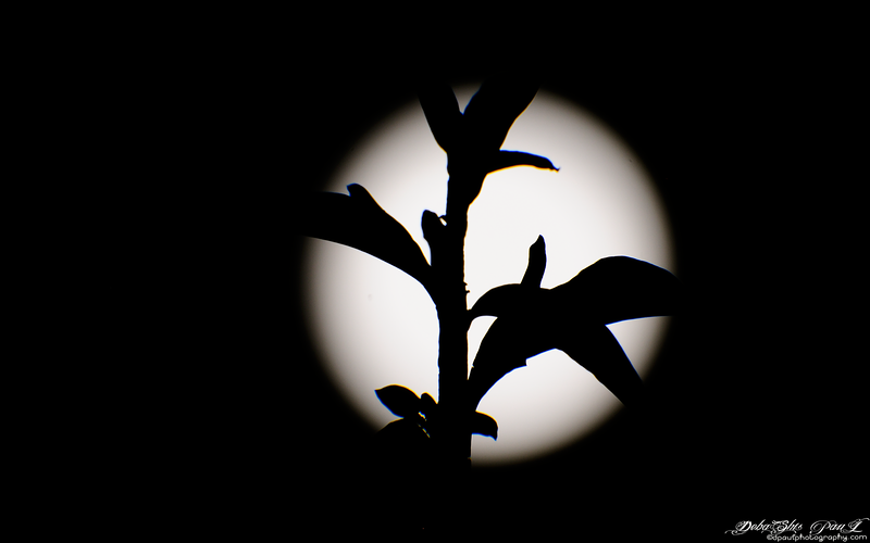 Moonlight in a silhouette effect behind the tiny spring flower leaf and bud - Atlanta, Georgia