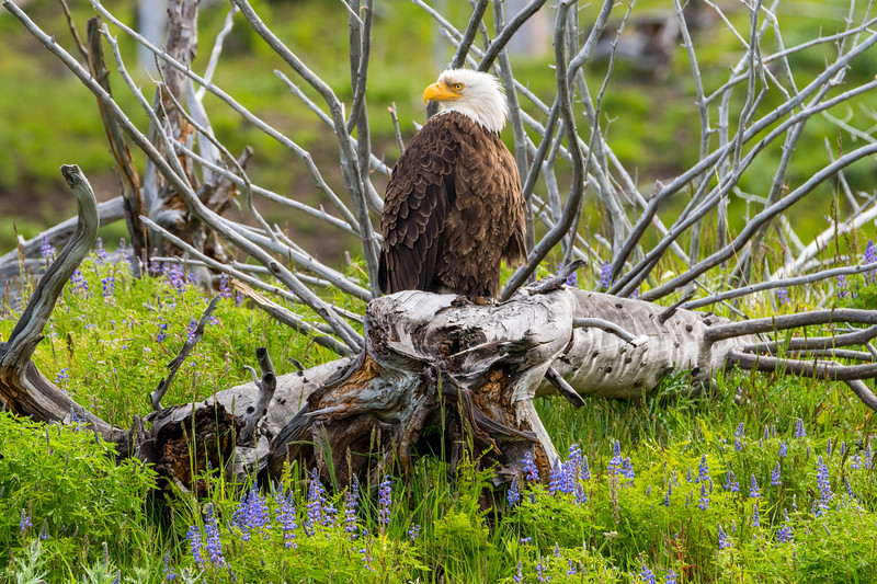 Eagle and Bluebonnets In Yellowstone