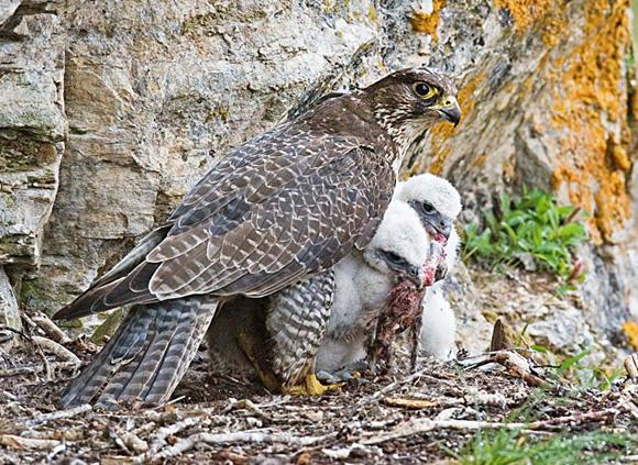 Gyr Falcon with Chicks.