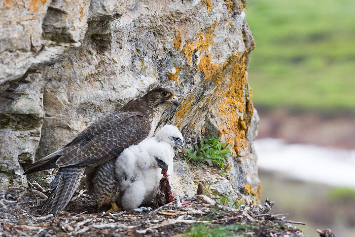Female Gyr Falcon with Chicks.