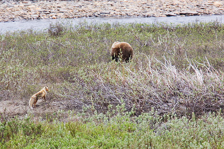 Bear and Coyote chasing each other.
