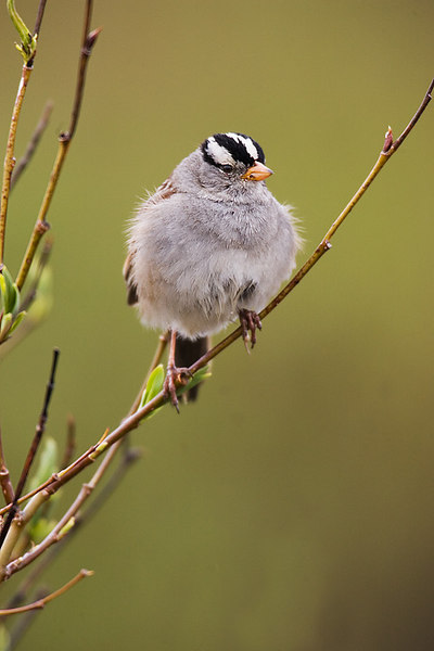 White Crowned Sparrow.