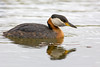 Red Necked Grebe.