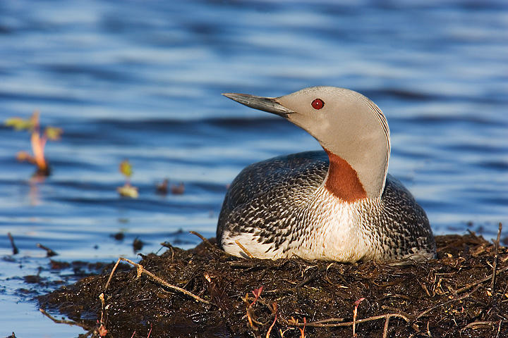 Red Throated Diver.