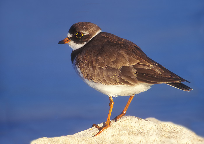Semi. Pal. Ring Plover with a twisted beak.