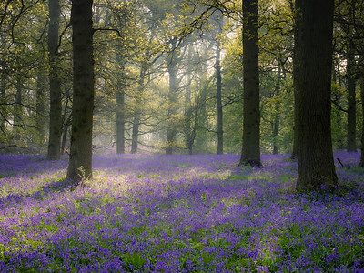 Bluebell Morning 4
