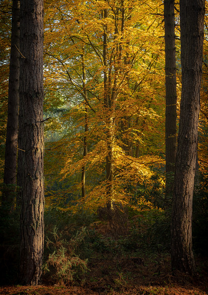 Beech Between the Pines