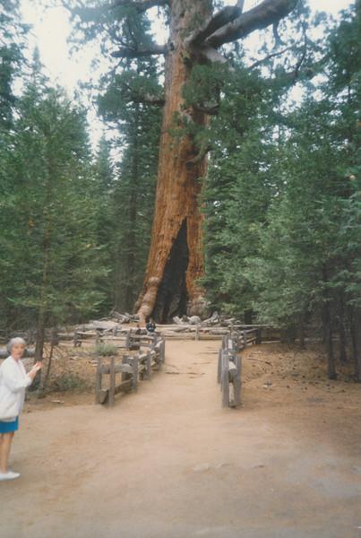 Giant Sequoia in Yosemite National Park