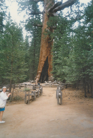 Giant Sequoia in Yosemite National Park