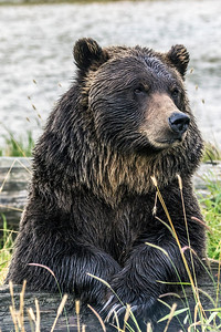 Regal Grizzly