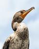 Close-up Cormorant