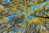 Yellow Leaves, Blue Sky