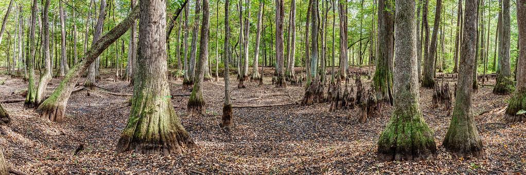 Cypress Swamp Panorama
