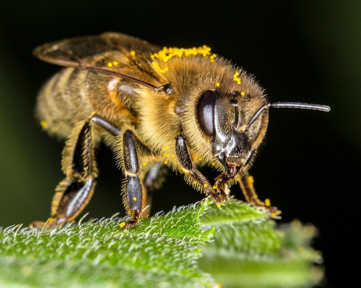 Pollen-coated bee