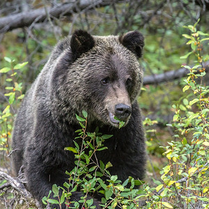Canadian Grizzly