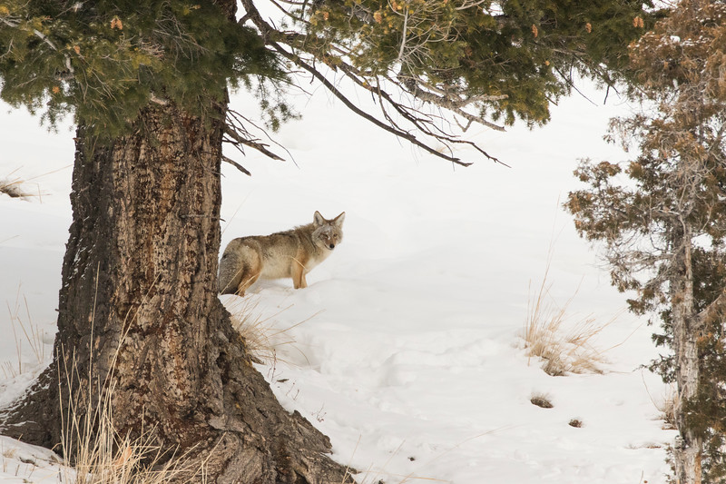 Coyote Checking out his Observers