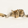 Snarling Coyotes