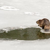 Beaver Above the Ice