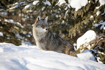 Coyote emerging from the forest