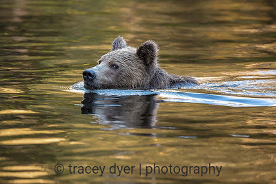 Grizzly Bear swim at sunset