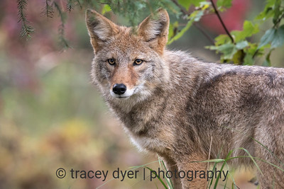 Coyote in Fall Colours