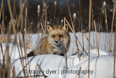 Red Fox hunting in the marsh