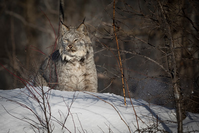 Canadian Lynx at Forest Edge