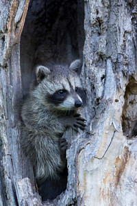 Baby racoon in hollowed-out tree