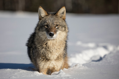 Coyote crossing a frozen river