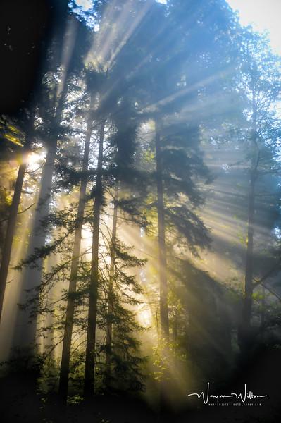 Sunlight Through the Tree's