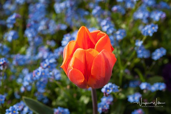 QE II Tulips