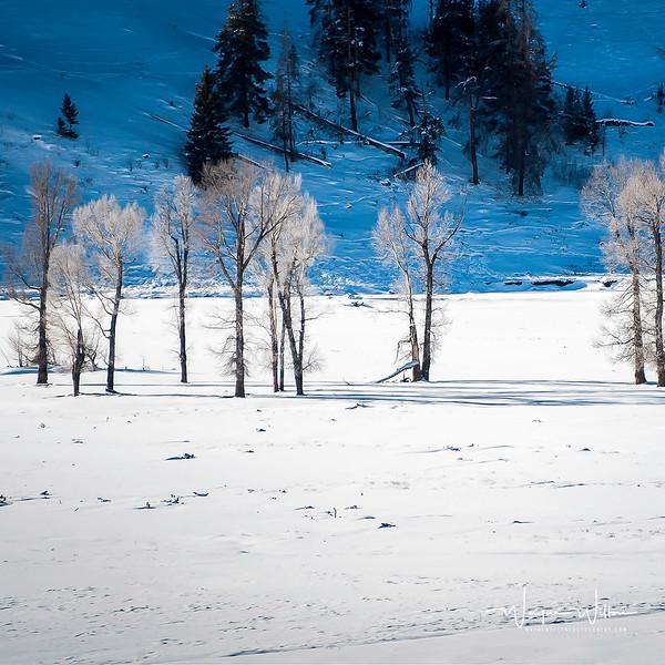 Yellowstone Tree's in Sunlight