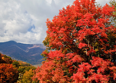 Red maple on the Blue Ridge Parkway