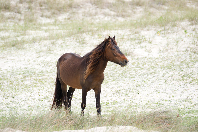 Shackleford Banks Pony