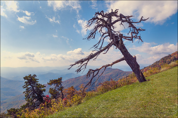 Lone Tree, Blue Ridge Parkway.
