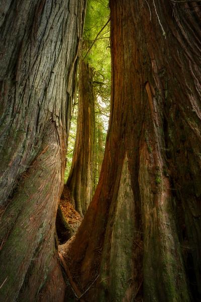 Window through an Old Growth Cedar Forest