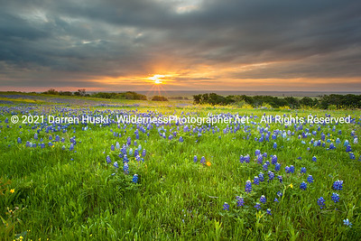 Bluebonnets at Sunrise 2014