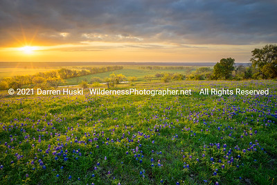 Bluebonnets of Spring at Sunrise