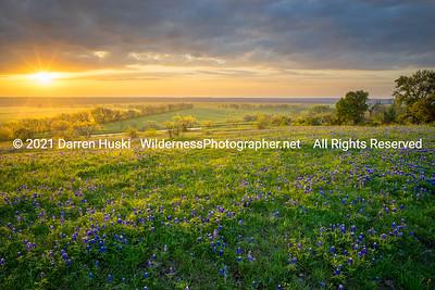 Bluebonnets of Spring at Sunrise