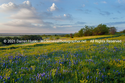 Bluebonnets of Spring