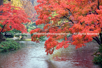 Rain and fall color in the Japanese Gardens of Fort Worth.