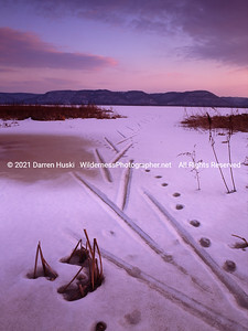 Ski tracks and dog tracks in the frozen marshes along the Mississippi River-Trempealeau NWR, Wisconsin.