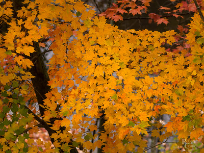 Massachusetts Autumn Maples