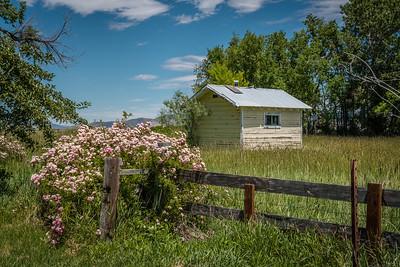 Wild Roses - Gardnerville, NV, USA