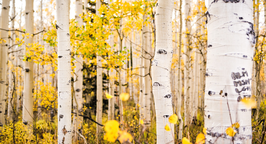 Endless Grove of Aspen Quakies