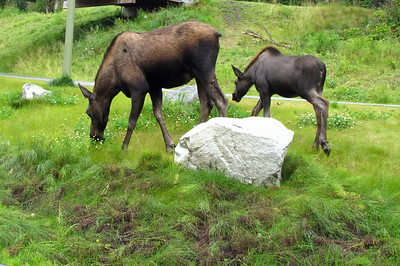 Kincaid Park in Anchorage, Alaska (Moose) (1)